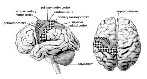Motor Cortex Location In Brain Engine Diagram And Wiring